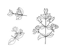 Set Of Elements Of Honeysuckle Branches With Flowers, Black Outline Drawing With White Fill. Vector Illustration Template For Different Design.