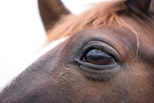 Close Up Of The Head Of A Brown Horse With Eye, On White Background. Landscape Is Mirrored In The Curvature Of The Eye