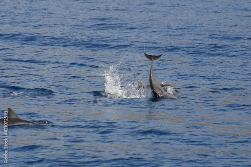 Canvas Print Spinner Dolphin Playing and Jumping in Maui Hawaii