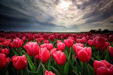 Red Tulip Field In Netherlands