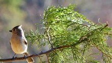 Tufted Titmouse Perching On Cedar Branch