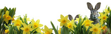 Two Easter Bunnies And Spring Daffodils Isolated On White - Banner - Copy Space
