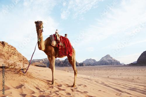 Fotografia Jordan, Wadi Rum Desert: Camels standing on the sand with mountains landscape in
