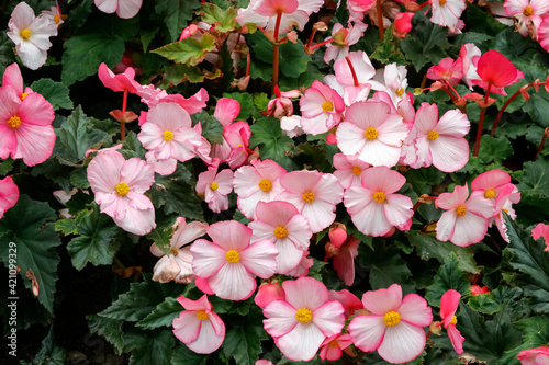 A mass of pink Begonia flowers at Butchart Gardens Fototapeta