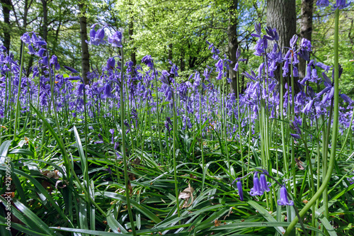 Fototapeta Close-up of Bluebells in Staffhurst Woods