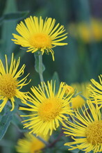 Inula Britannica, Meadow Fleabane, Meadow Inula. Yellow Heads Of Wildflowers On A Green Background Outdoors Close-up. Vertical.