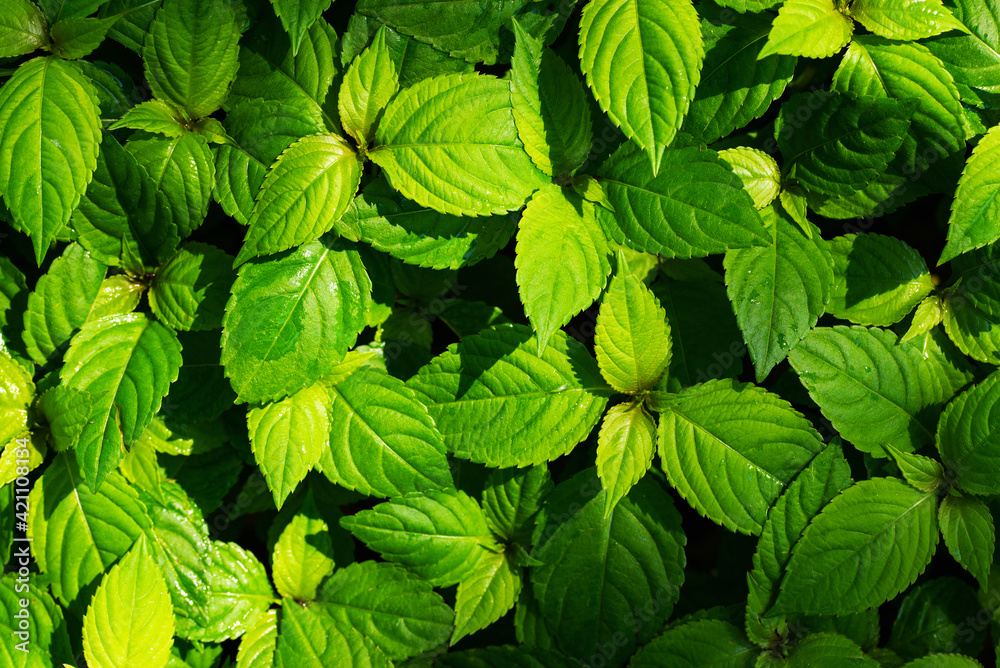 Fototapeta Natural green background from field grass leaves
