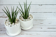Sansevieria In Ceramic Pot.  White Old Wood Background.