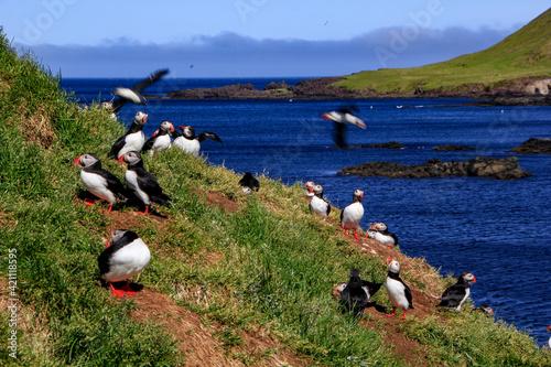 Several puffins at the bird colony of Hafnarhólmi, Eastfjords, Borgarfjördur, Ic Fototapet