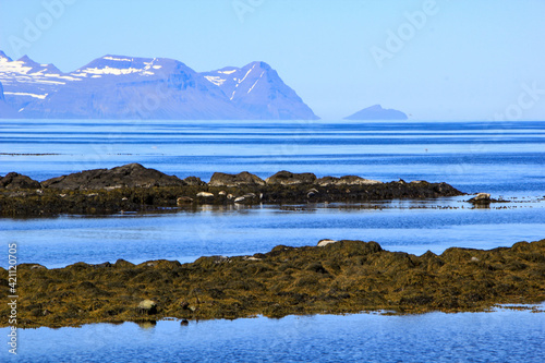 Seal colony at the coast of Vatnsnes peninsula, Iceland Poster Mural XXL