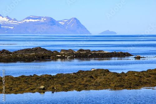 Canvastavla Seal colony at the coast of Vatnsnes peninsula, Iceland