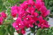 Leinwandbild Motiv buganvilia en flor