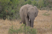 Cute Young African Elephant Grazing In The Wild, Kenya