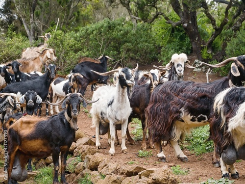 A herd of goats living in the wild in a cripple heather forest near Teno Alto in Fototapete