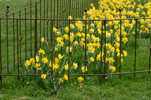 Yellow Daffodils Blooming In A Grassy Area And Enclosed With An Iron Work Fence