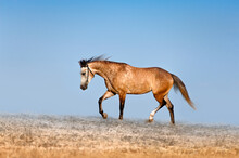 Beautiful Red-dappled Mare Galloping Across The Field On A Background Of Blue Sky. Horse In The Mist