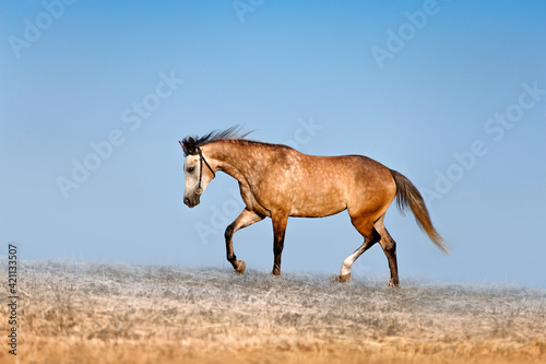 Fototapeta Beautiful red-dappled mare galloping across the field on a background of blue sky