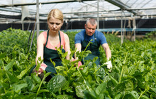 Couple Of Gardeners Arranging Creeping Spinach Seedlings In Greenhouse