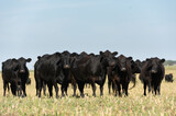 Angus cattle farm in the pampas