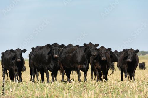 Fotografia, Obraz Angus cattle farm in the pampas