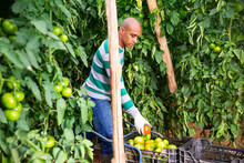 Latino Male Farmer Picking To Crate Freshly Harvested Green Tomatoes In Hothouse