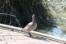 Cute Brown And Grey Ducks Standing On Suburban Wetland Wooden Dock, Pier, With Brown Lake Pond Water In Background, Sunny Summer Day