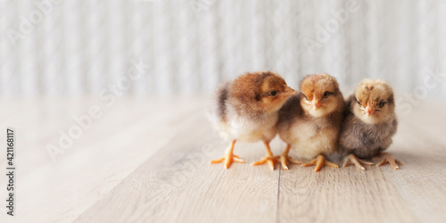 Newborn fluffy fledgling chickens against the light  background Fototapete
