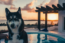 Husky In The Pool