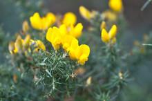 Beautiful Closeup View Of Yellow Gorse (Ulex) Wild Flowers Growing Everywhere In Ireland All The Year Round, Dublin, Ireland. Macro Shot