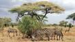 canvas print picture - Zebra's Grazing