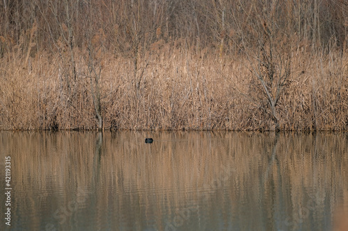 Photographie starling coots swim in Cronovilla nature reserve in Parma, Italy