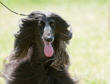 Afghan Hound Walking In The Sunlight