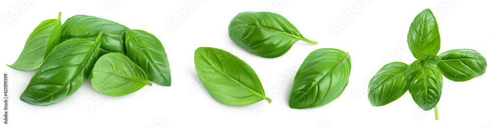 Fototapeta Fresh basil leaf isolated on white background with clipping path and full depth of field. Top view. Flat lay, Set or collection
