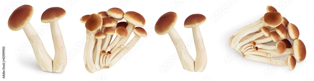 Fototapeta honey fungus mushrooms isolated on white background with clipping path and full depth of field. Set or collection