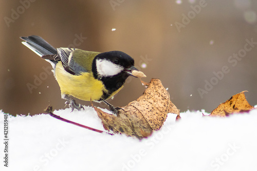 titmouse  with sunflower seed  on the snow near dry leaf Fototapeta