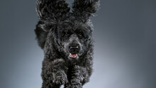 Black Standard Poodle Jumps Towards The Camera