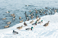 Brown And Green Ducks Swim In The Blue Waves Of A Winter River, Lake With Frozen White Snowy Ice Shore On A Sunny Day