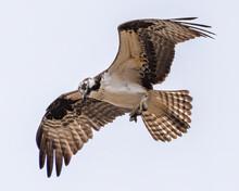 Osprey Bird Hunting For Fish