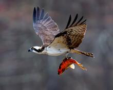 Osprey Bird With A Goldfish Catch In Flight