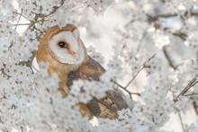 The Beautiful Barn Owl In Spring Season (Tyto Alba)