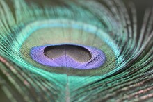 Close-up Of Peacock Feathers
