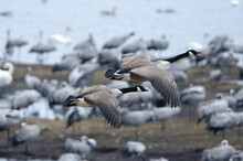 Canada Geese Flying Over Lake Hornborga