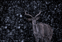 Portrait Of Deer In Snow