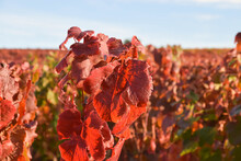 Grapes Vines Change Colors Of Leaves In Autumn - Colorful Grapes Leaves In Autumn