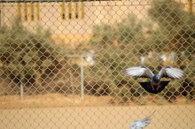 Bird Flying Over Chainlink Fence