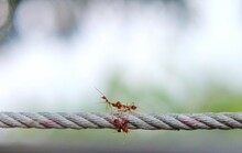 Ant Action Standing, Red Ants On The Rope. Concept Team Work Together. Blurred Photo