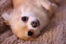 Rainy The Chihuahua