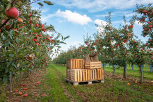 Crates In Orchard Full Of Apple Trees With Ripe Apples Ready For Harvest Against Blue Sky