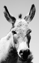 Mini Donkey Portrait Close Up Shows Long Ear Looking At Camera In Rustic Black And White.