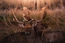 Fallow Deer Herd Resting In Daylight